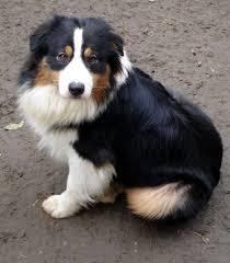 Migua, chien Berger australien