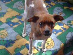 Miiss Lilly, chien Pinscher