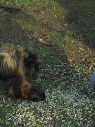Mijo, rongeur Cochon d'Inde
