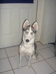 Mika, chien Husky sibérien