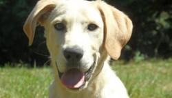 Mika, chien Labrador Retriever