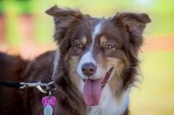 Mika, chien Berger australien