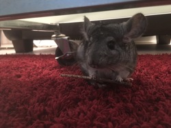 Mika, rongeur Chinchilla