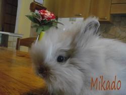 Mikado, rongeur Lapin