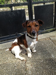 Mikado, chien Jack Russell Terrier