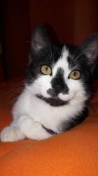 Mikado, chat Européen
