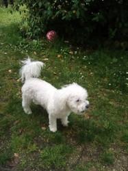 Mikado, chien Bichon à poil frisé