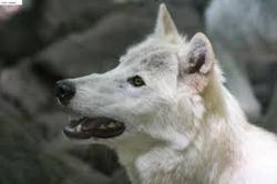Mike, chien Chien-loup tchèque
