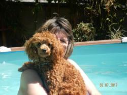 Mike, chien Caniche