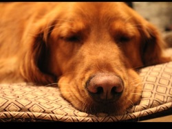 Mikee , chien Golden Retriever