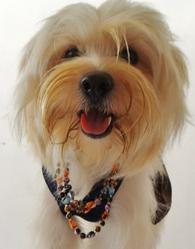 Miki, chien Bichon havanais