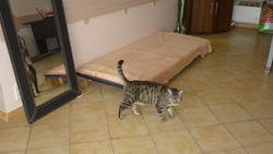 Miki, chat Européen
