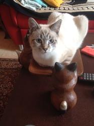 Mikki, chat Siamois