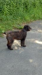 Mikki, chien Caniche