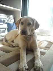 Miko, chien Labrador Retriever