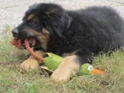 Miko, chien Bouvier bernois