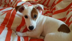Miko, chien Jack Russell Terrier