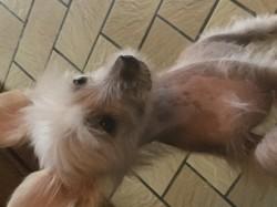 Miko, chien Chien chinois à crête