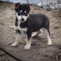 Miko, chiot Husky sibérien