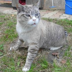 Miko, chat Siamois
