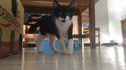 Miko, chat Européen