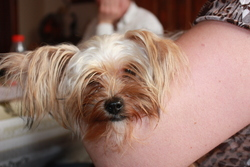 Miky, chien Yorkshire Terrier