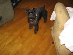 Miky, chien Schnauzer