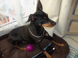 Miky, chien Pinscher