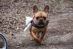 Mila, chien Bouledogue français