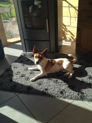Mila, chien Jack Russell Terrier