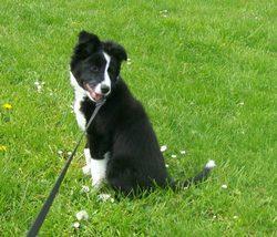 Mila, chien Border Collie