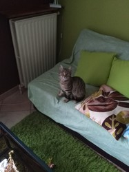 Mila, chat Européen