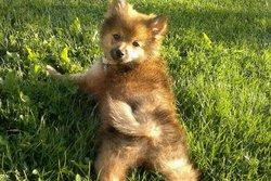 Mila, chien Spitz japonais