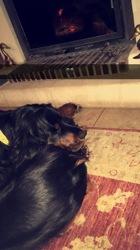 Mila, chien Setter Gordon