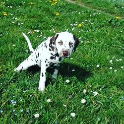 Milady, chien Dalmatien