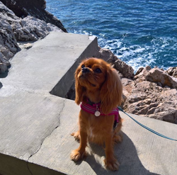 Milady, chien Cavalier King Charles Spaniel
