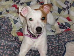 Milah, chien Jack Russell Terrier