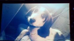 Milo, chien Chien courant d'Istrie à poil ras