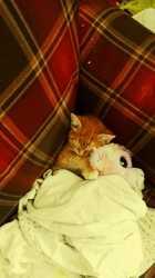 Miles, chat Javanais