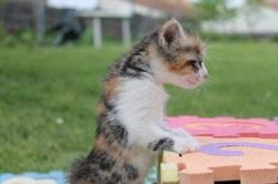 Milie, chat Gouttière