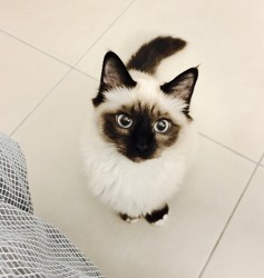 Milk, chat Birman