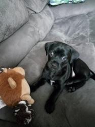 Milka, chien Labrador Retriever
