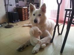 Milka, chien Berger blanc suisse