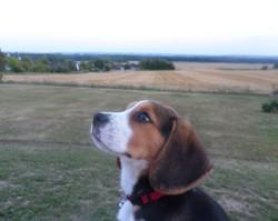 Milka, chien Beagle