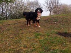 Milka, chien Bouvier bernois