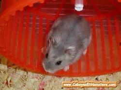 Milka, rongeur Hamster