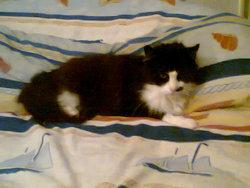 Milka, chat Européen