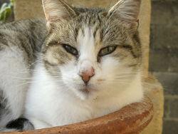 Milka, chat Gouttière