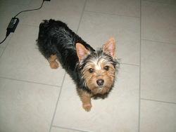 Milka, chien