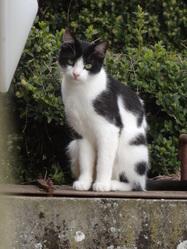 Milka Rip, chat Européen